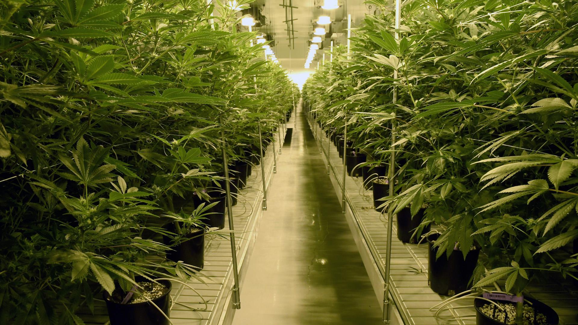 Marijuana plants, pot, cultivation facility in Las Vegas, Nevada82801722-159532