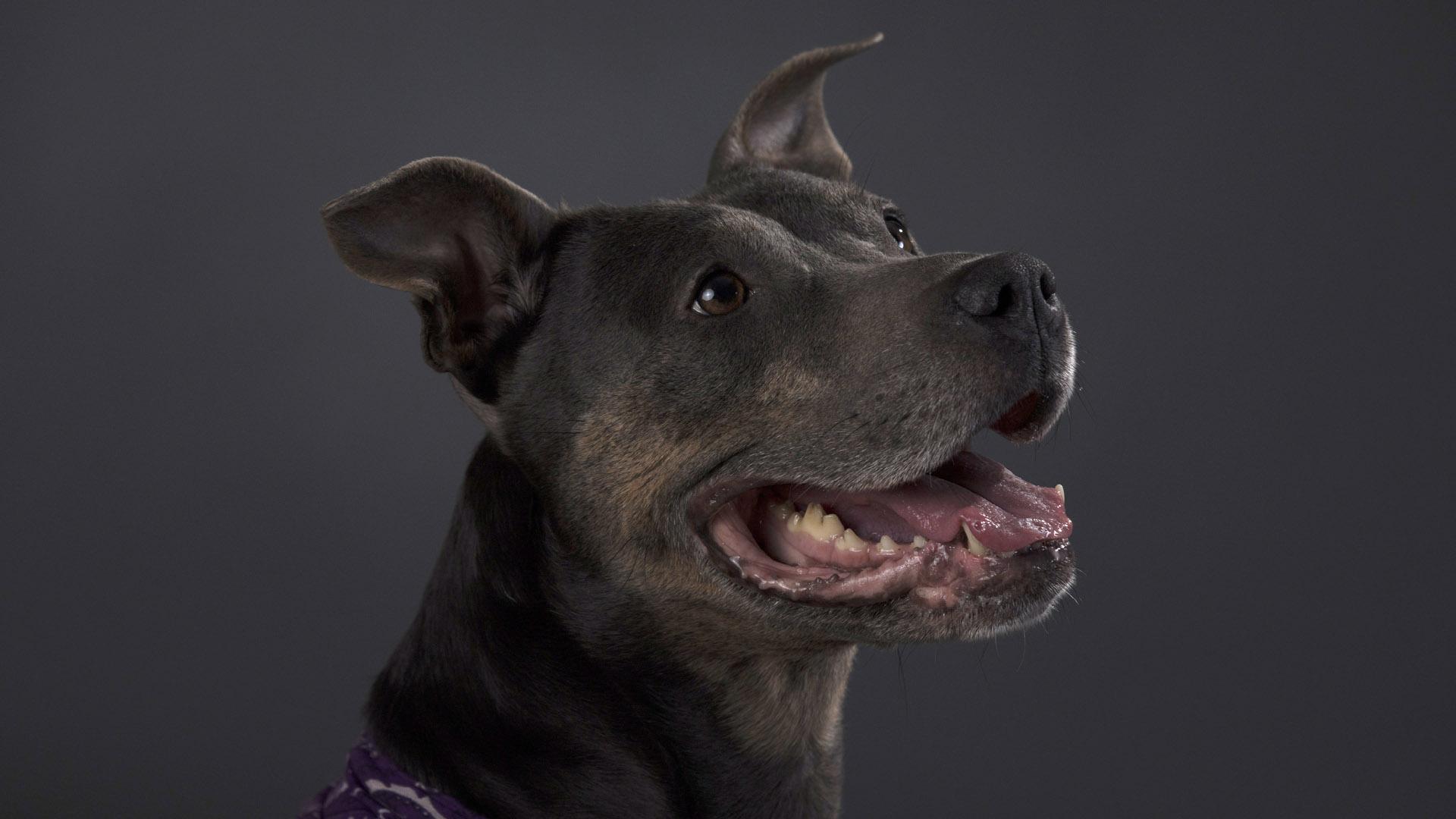 Staffordshire Bull Terrier, common name is pitbull, pit bull49504661-159532