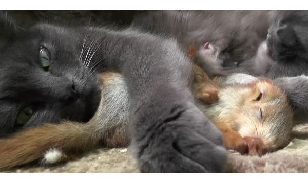Cat adopts four baby squirrels