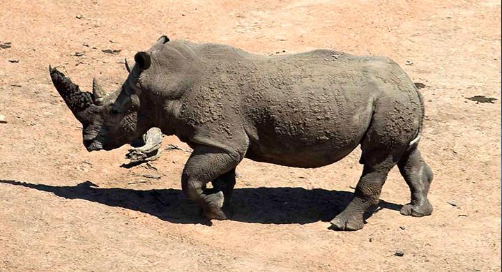 rhino_1554651375826.jpg